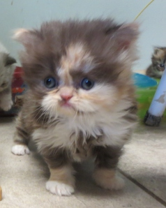 Sundae she is a scrumptious  Persian chocolate calico